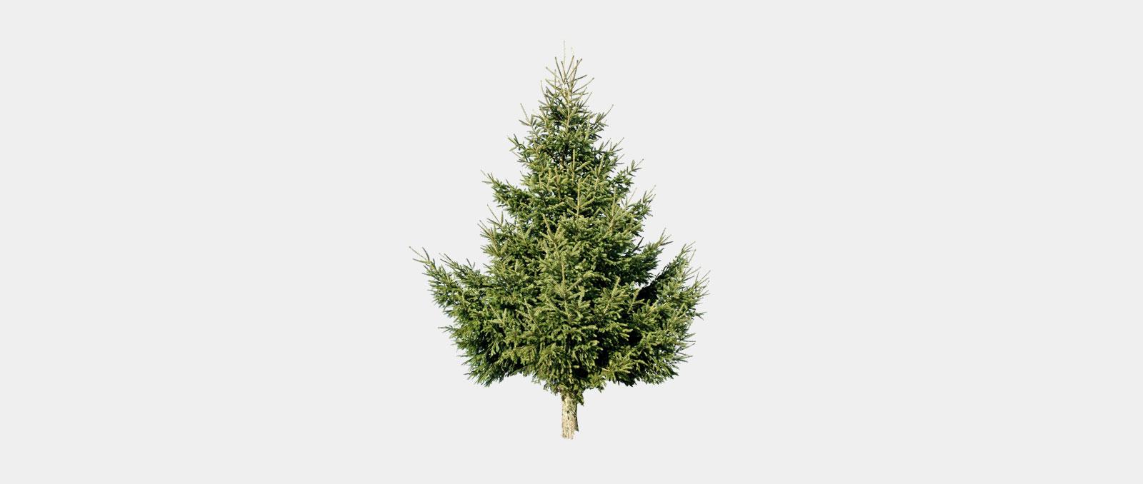 Picea-abies_Gemeine-Fichte_01_winter_1600x678